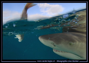 Lemon Shark close to the surface.... :O)... by Michel Lonfat 